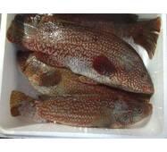 Рыба охлажденная - Губан пятнистый 500/1000