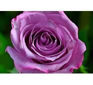 Троянда чайно-гібридна Блю Ніл (ІТЯ-11)