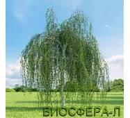 Береза повислая Юнги (BetulapendulaYoungii)