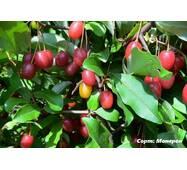 Саженцы Гуми (гумми) Монерон лох многоцветковый (Elaeagnus multiflora)