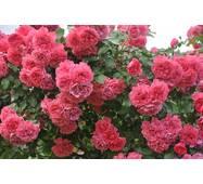 Роза парковая Розариум Ютерзен (ІТЯ-181)