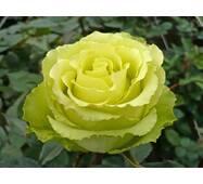 Роза чайно-гибридная Лимбо (ІТЯ-2)