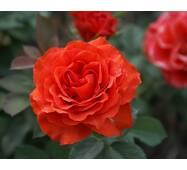 Роза чайно-гибридная Эль Торо (ІТЯ-139)