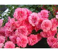 Роза полиантова Миратто (ІТЯ-288)