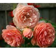 Роза англійська Вильям Моррис