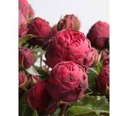Троянда чайно-гібридна Піано (ІТЯ-294)