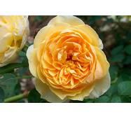 Троянда англійсько-паркова Голден Селебрешн (ІТЯ-275)