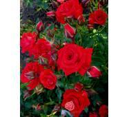 Роза спрей Ред Макарена (ІТЯ-296)