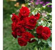 Роза плетистая Амадеус (ІТЯ-301)