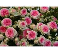 Роза спрей Мими Эден (ІТЯ-287)