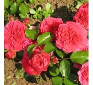 Роза полиантова Хелоу (ІТЯ-312)