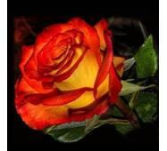 Троянда чайно-гібридна Френдшіп (ІТЯ-108)