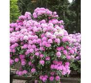 Рододендрон гібридний Roseum Elegans 3 річний, Рододендрон гибридный Розеум Элеганс Rhododendron Roseum