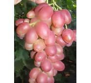 Виноград Ливия (ІВН-27)