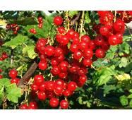 Смородина красная Святомихайловская (ІПР-24)