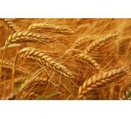 Семена озимой пшениці Смуглянка (Первая репродукция)