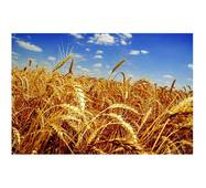 Семена пшеницы Фаворитка (Элита)