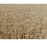Семена пшеницы Щедрость Одесская (Суперэлита)