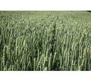 Семена пшеницы Коляда (Суперэлита)