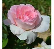 Саженцы розы Grand Siecle