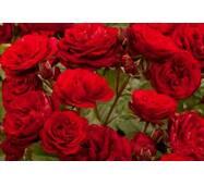 Саженцы розы Red Empire