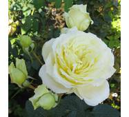 Роза плетистая Эльф (ІТЯ-221)