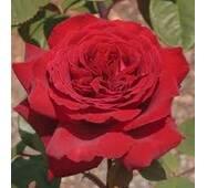 Саджанці троянди Duft Festival