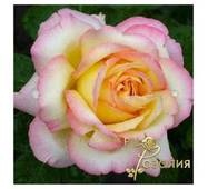 Роза Gloria Dei