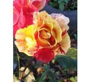 Саджанці троянд Edgar Degas