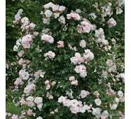Саженцы розы New Dawn