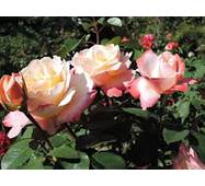 Саджанці троянд Letecia Casta