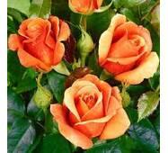 Саженцы розы Cherry Brandy