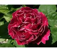 Саджанці троянди Baron Girod de L'Ain
