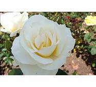 Саженцы роз Grand Nord