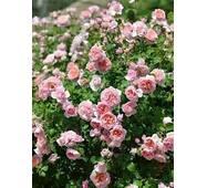 Саженцы роз Dam de Chenonceau