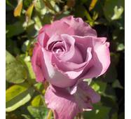 Роза чайно-гибридная Блю парфюм (ІТЯ-95)