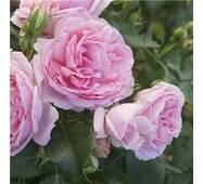 Саджанці троянди Comtesse de Segur