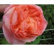 Саженцы розы Papi Delbard