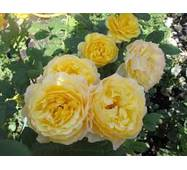 Саженцы роз Marcel Proust