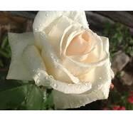 Саженцы роз Grand Mogul