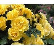 Саженцы розы Golden Showers