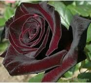 Саженцы роз Bakara