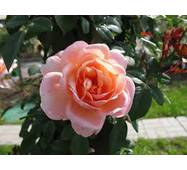 Саженцы розы Bell de Seigneur