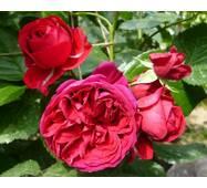 Троянда чайно-гібридна Червона шапочка (ІТЯ-348)