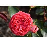 Саженцы роз Belle de Dom