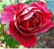 Саженцы розы Guy Savoy