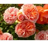 Роза шраб Чип энд Дейл (ІТЯ-308)