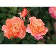 Саджанці троянд Westerland
