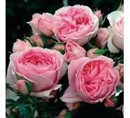 Саженцы розы Delia