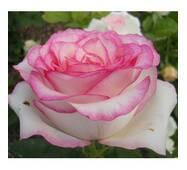 Роза чайно-гибридная Белла Вита (ІТЯ-159)